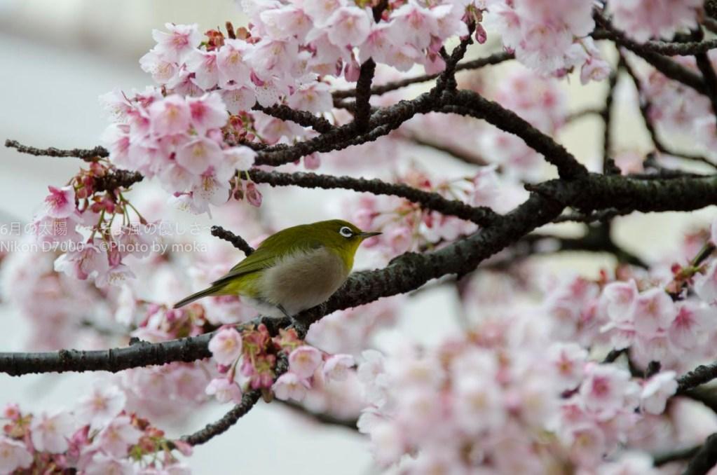 [6]綺麗に咲く花とメジロの姿に、冬の終わりが見えてきた!?