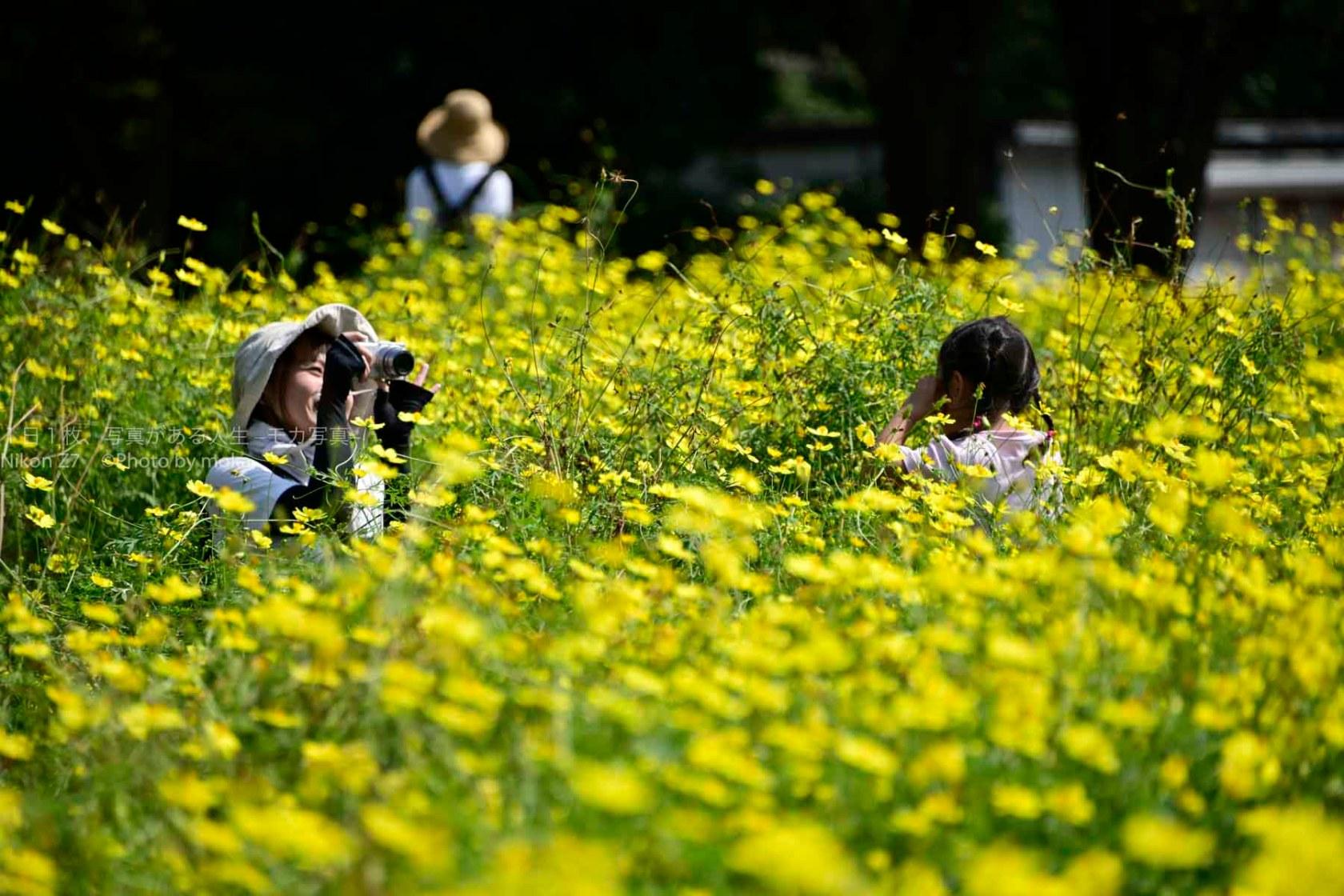 【眩しいほどの黄色のコスモス】昭和記念公園の原っぱ東花畑