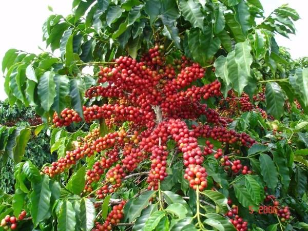 Kahve Paketi - Bölüm 1 : Kahve Tipleri - Mundo Novo