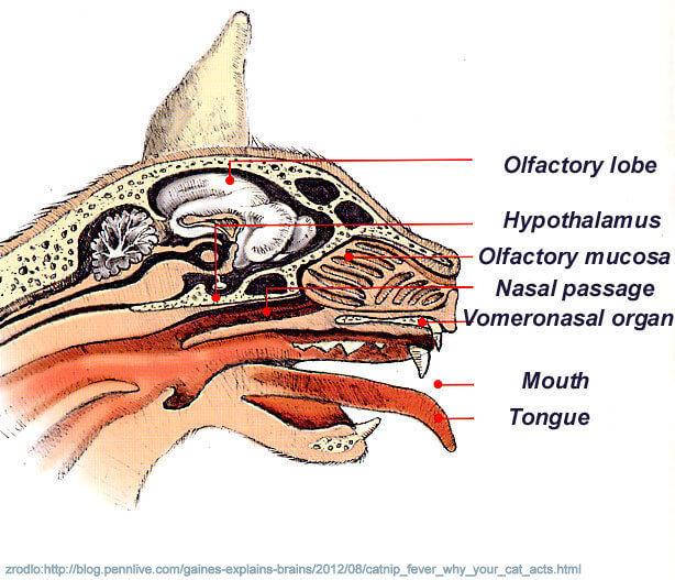 organ jacobsona