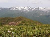 ミネザクラと苗場山
