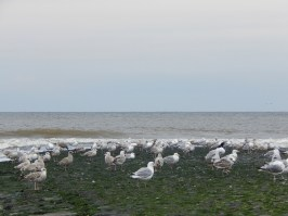 meeuwen-strand-callantsoog