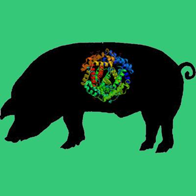 Porcine pancreatic elastase