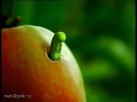 Текст песни - А я яблоки люблю
