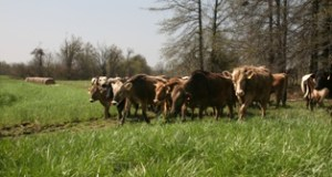 "Cows head to pasture in 2008 at an organic milk dairy farm in Missouri. A federal appeals court restored part of class action litigation against a Colorado dairy that claims the company sold as ""organic"" milk that really wasn't. File photo by Karen Elshout"