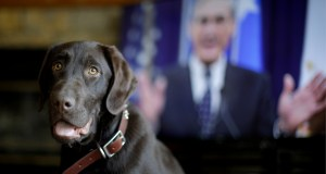 """Alicia Barnett's Chocolate Labrador Retriever named """"Mueller"""" waits for a treat in their Kansas City, Kan., home. Barnett named the puppy in honor of special prosecutor Robert Mueller, shown on the television in the background, because the dog seemed strong, quiet, and a bit mysterious. AP Photo by Charlie Riedel"""
