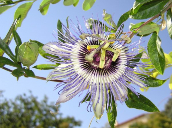 Все форумы > Пассифлора, или страстоцвет, голубая ...