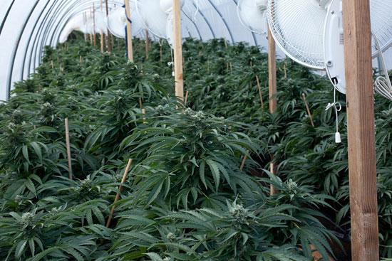 Best Quality Cannabis Indica Strain - Best Cannabis Value