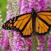 Kelebeğe dönüşen tırtılın DNA'sı da değişiyor mu ?