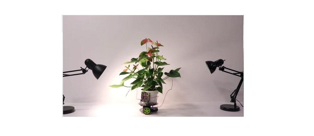 Bu Bitkinin Işığa Yönelimi Düşündüğünüzden Biraz Farklı ?