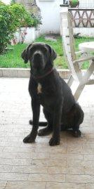 spartaco-cane-corso-10-mesi