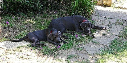 spartaco-con-damon-5-mesi-cane-corso