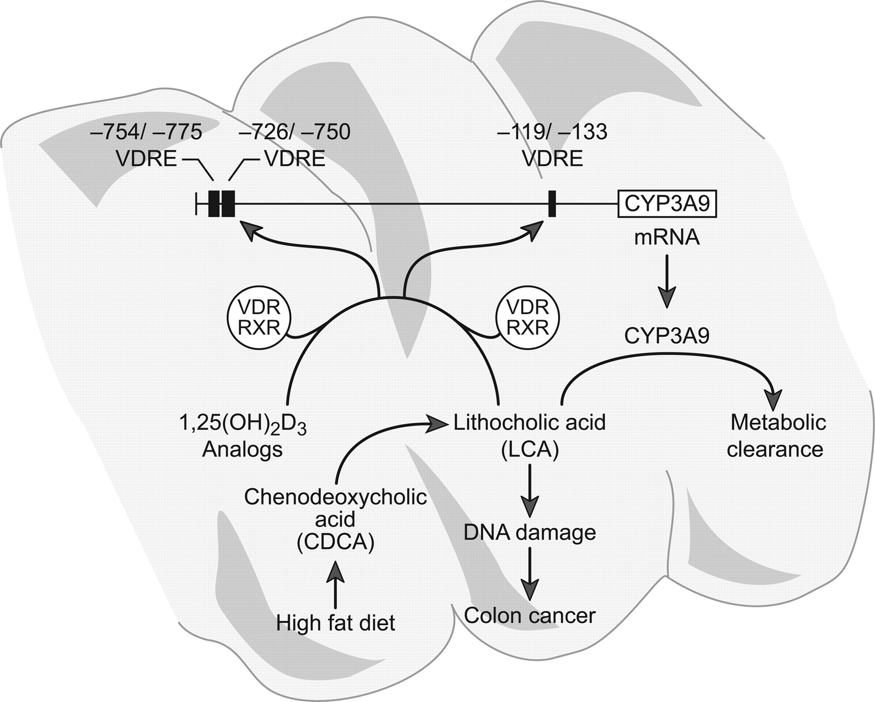 19nor 1 25 Dihydroxyvitamin D2 Specifically Induces Cyp3a9