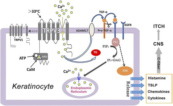 The Ca2+-Permeable Cation Transient Receptor Potential ...
