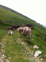 We took a steep shortcut to avoid walking through this cow herd
