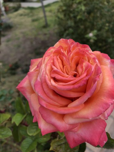 spring garden rose