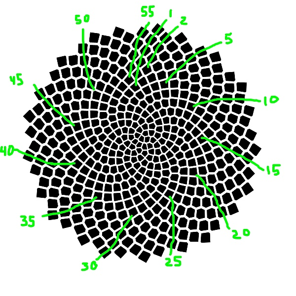 Choosing another slope, the green lines show 55 spirals of seeds.