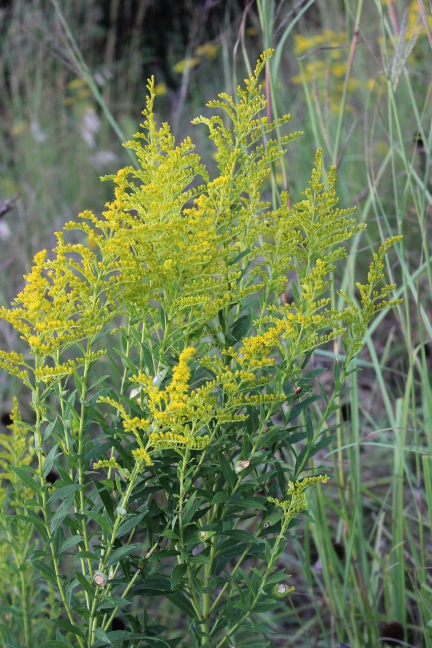What does goldenrod look like