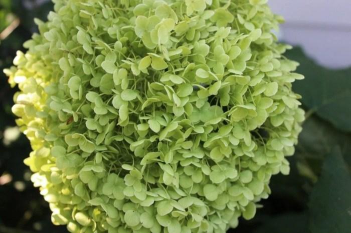 A beautiful hydrangea flower.