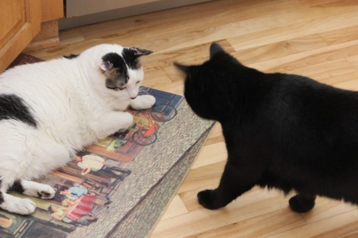 Black kitty sees white kitty.  White kitty is usually just relaxing.