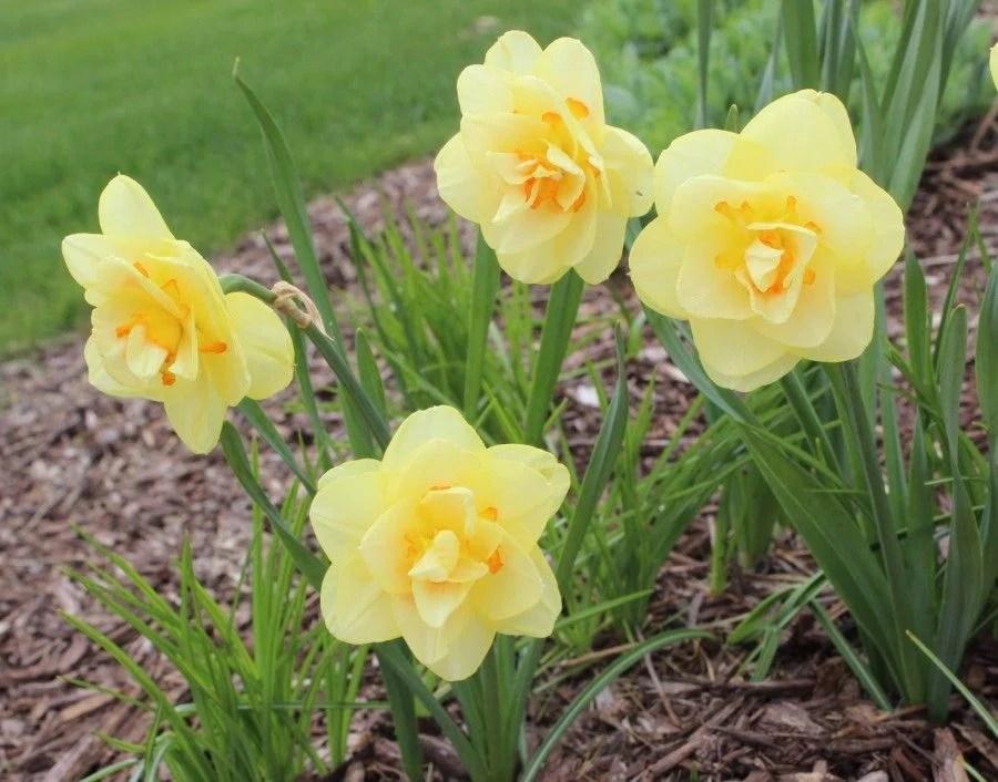 Benefits of daffodils
