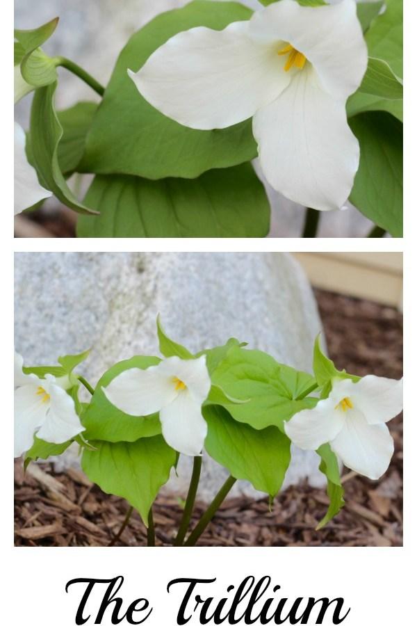 The Trillium – my favorite wildflower.