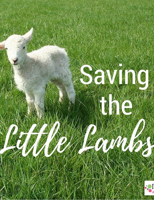 Saving the Little Lambs
