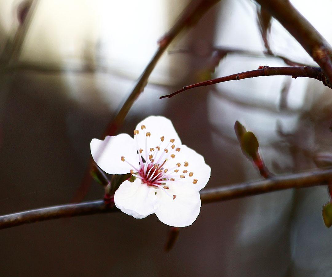 flor-de-ciruelo