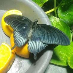 amnh butterfly 2