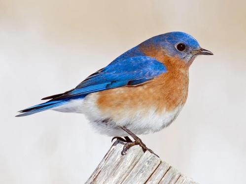 bird eastern blue bird