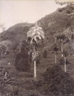 Talipot Palm in a Mountain