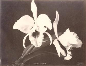 Orchid Types (Cattleya trianae)