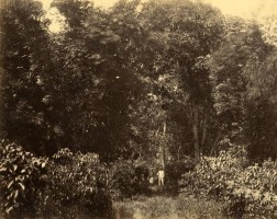 Trees in Jungle photographed by CA & Co. [Image Courtesy: www.imagesofceylon.com ]