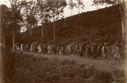 Tea Estate Workers Going to Work