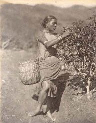 Tea Plucker photographed by Skeen & Co. [Image Courtesy: www.imagesofceylon.com ]