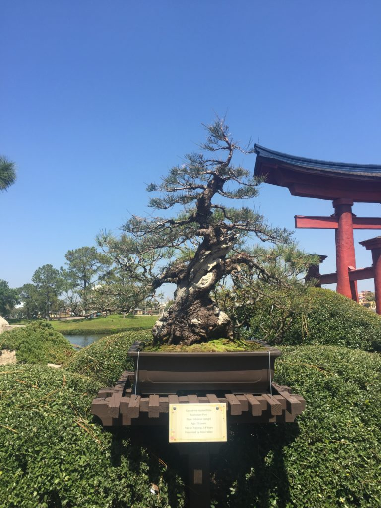 Bonsai Tree in Japan Epcot Flower and garden