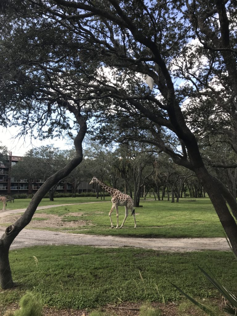 Giraffe on Arusha Savannah at Animal Kingdom Lodge