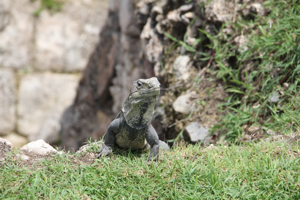 Iguana at Chichen Itza