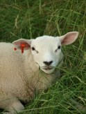 Meet the sheep, my new friend