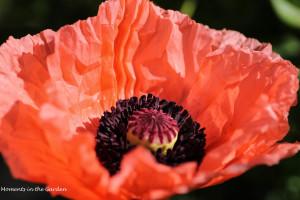 Opened oriental poppy