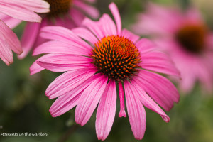 Echinecea in full bloom