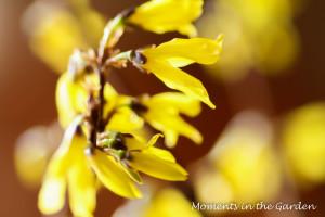 Forsythia close up-3697