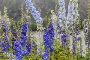 Blue delphiniums Entiat lake-5951