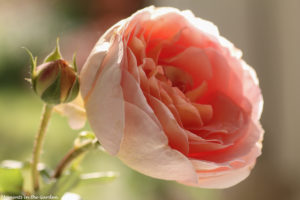 David Austin Rose Side Natural-6469