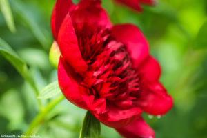 Red peony side profile good-5682