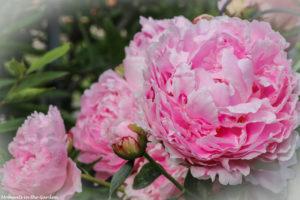 Double pink peonies-6474