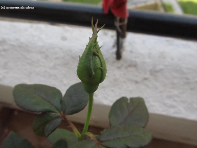 A New Flower Bud about to Bloom is A Symbol of Fresh Start Of A New Life
