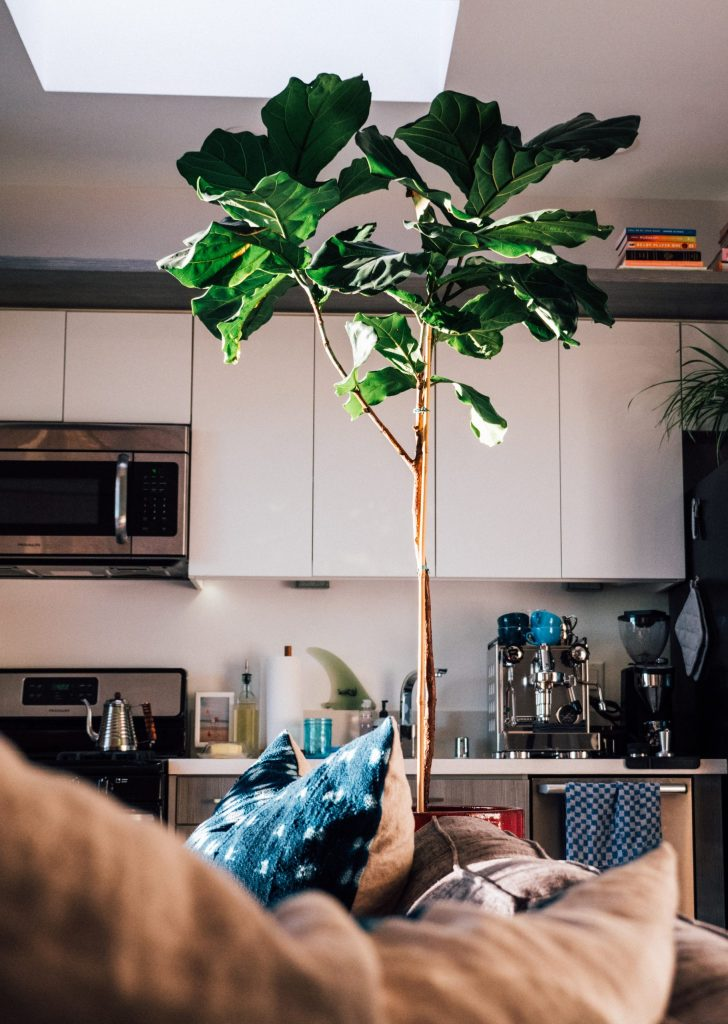 fiddle leaf fig tree in doors big tree
