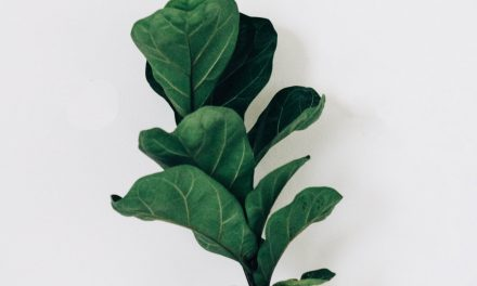 Fiddle Leaf Fig Tree – Ultimate Guide 2020