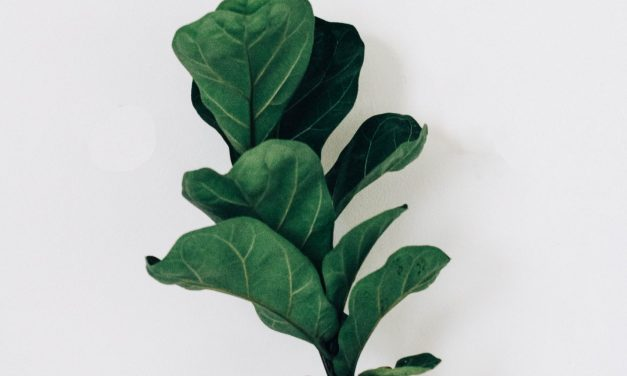 Fiddle Leaf Fig Tree – Ultimate Guide 2020